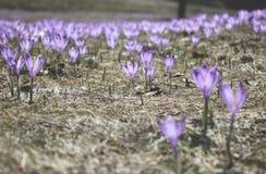 Violette krokussen op een weide Royalty-vrije Stock Afbeeldingen