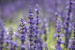 Violette lavendel Stock Afbeeldingen