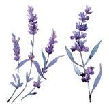 Violette lavendel Bloemen botanische bloem Wild geïsoleerd de lenteblad wildflower stock illustratie