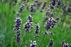 Violette lavendelbloemen Royalty-vrije Stock Foto's