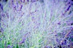 Violette lavendelbloemen stock afbeelding