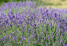 Violette lavendelbos Royalty-vrije Stock Afbeelding