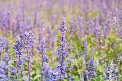 Violette lavendelclose-up, selectieve nadruk royalty-vrije stock afbeeldingen