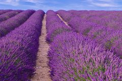 Violette lavendelstruiken De mooie gebieden van de kleuren purpere lavendel stock afbeelding
