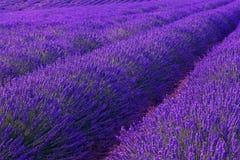 Violette lavendelstruiken De mooie gebieden van de kleuren purpere lavendel stock afbeeldingen