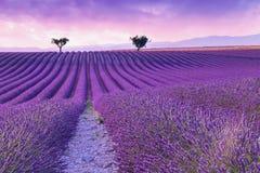Violette lavendelstruiken De mooie gebieden van de kleuren purpere lavendel royalty-vrije stock foto's