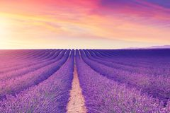 Violette lavendelstruiken De mooie gebieden van de kleuren purpere lavendel royalty-vrije stock fotografie