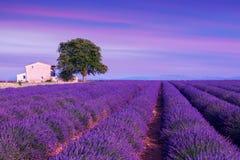 Violette lavendelstruiken De mooie gebieden van de kleuren purpere lavendel stock foto's