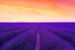 Violette lavendelstruiken De mooie gebieden van de kleuren purpere lavendel stock fotografie