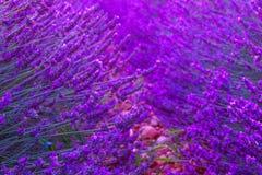 Violette lavendelstruiken De mooie gebieden van de kleuren purpere lavendel stock foto