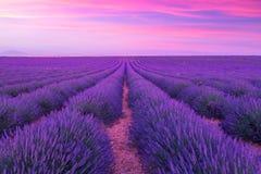 Violette lavendelstruiken De mooie gebieden van de kleuren purpere lavendel royalty-vrije stock afbeelding