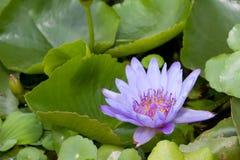Violette lotusbloem Stock Foto's