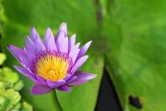 Violette lotusbloem Royalty-vrije Stock Afbeelding