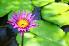 Violette lotusbloem Stock Afbeeldingen