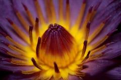 Violette lotusbloem Stock Fotografie