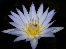 Violette lotusbloem Royalty-vrije Stock Afbeeldingen