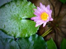 Violette lotusbloem Royalty-vrije Stock Foto's