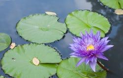 Violette lotusbloem in de vijver Royalty-vrije Stock Afbeeldingen