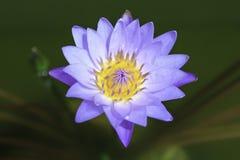 Violette lotusbloem die in de vijver bloeien Stock Foto