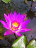 Violette lotusbloem met groen blad in water Royalty-vrije Stock Foto's