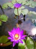 Violette lotusbloem met groen blad in water Stock Afbeeldingen