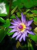 Violette lotusbloembloem Stock Fotografie