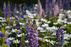Violette lupine Blumen der Nahaufnahme auf unscharfem Hintergrund der Sommerwiese mit Lupinen und Gänseblümchen stockbild