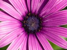 Violette madeliefjemacro Royalty-vrije Stock Fotografie