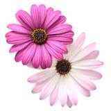 Violette Madeliefjes stock foto's