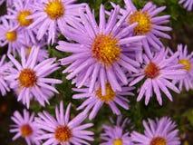 Violette madeliefjes Royalty-vrije Stock Fotografie