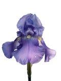 Violette met dauw bedekte iris Stock Afbeelding
