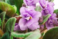 Violette Nahaufnahme Lizenzfreies Stockfoto