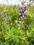 Violette natuurlijke bloemen met kleine pluizige knoppenbloemblaadjes met knoppen in groen gras stock foto
