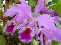 Violette orchideeën Royalty-vrije Stock Foto's