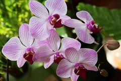 Violette orchideeën De orchidee is koningin van bloemen Stock Afbeelding