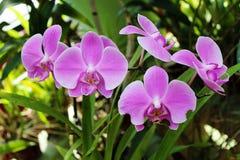 Violette orchideeën De orchidee is koningin van bloemen Orchidee in tropisch g Royalty-vrije Stock Fotografie