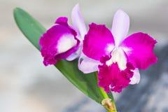 Violette Orchidee Lizenzfreie Stockfotos