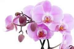 Violette orchidee Royalty-vrije Stock Afbeeldingen