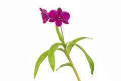 Violette orchidee Royalty-vrije Stock Afbeelding
