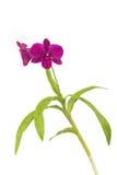 Violette orchidee Royalty-vrije Stock Foto