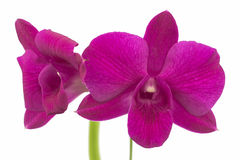 Violette orchidee Royalty-vrije Stock Fotografie