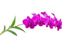 Violette orchidee Stock Afbeelding