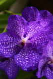 Violette orchidee Stock Foto