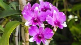 Violette orchidee Royalty-vrije Stock Foto's