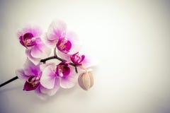 Violette orchidee Stock Afbeeldingen