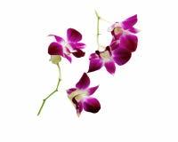Violette orchidee die op witte achtergrond wordt geïsoleerd_ Stock Afbeeldingen