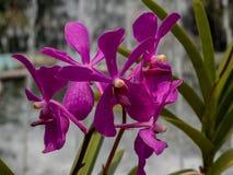 Violette Orchidee draußen, frische Blumen lizenzfreie stockbilder