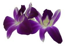 Violette Orchidee lokalisiert auf weißem Hintergrund Stockfotografie