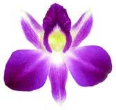 Violette Orchidee lokalisiert auf weißem Hintergrund Lizenzfreie Stockbilder