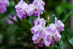 Violette orchideebloem met waterdaling Royalty-vrije Stock Afbeeldingen